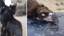 بالصور/ صيد نسر أسود نادر مهدد بالإنقراض في بدنايل البقاعية...طائر يهاجر عبر لبنان