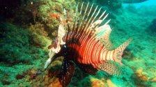 """المونيتور:  """"سمكة الأسد"""" تنتشر على طول الساحل اللبناني.. تأكل كل شيء حتى لحوم البشر!"""