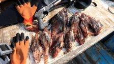 """""""سمكة الأسد"""" تغزو بحر لبنان.. سمكة عدوانية موطنها الأصلي في البحر الأحمر وتأكل بعضها البعض!"""