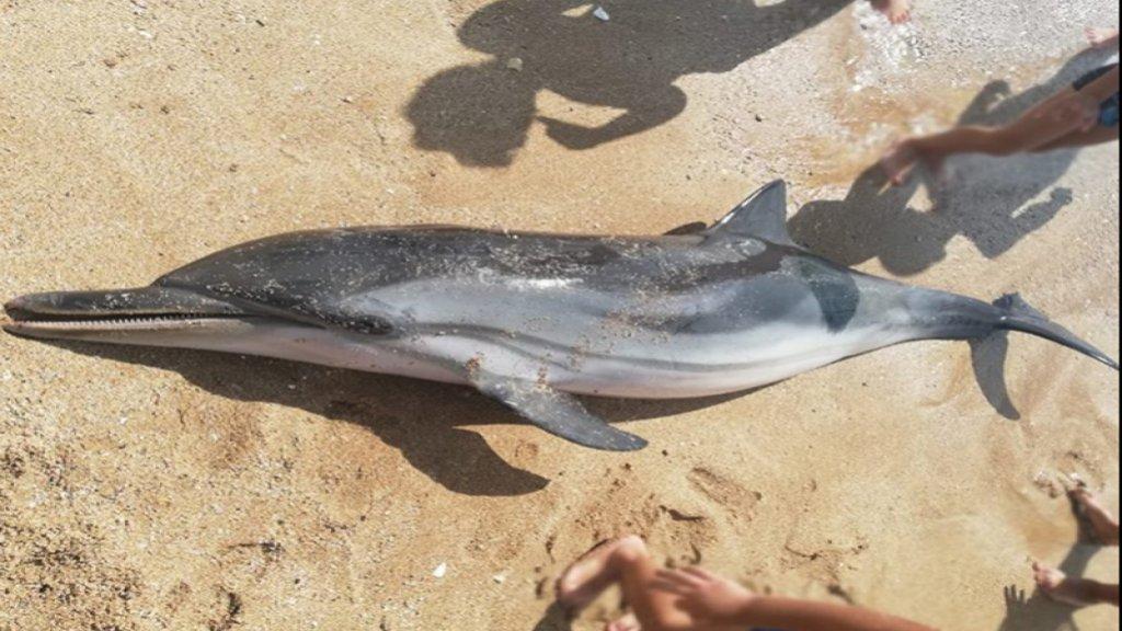 ناشطة تكشف: دلفين بحر عدلون تعرض للخنق والقتل ولم يكن نافقاً عندما عثر عليه