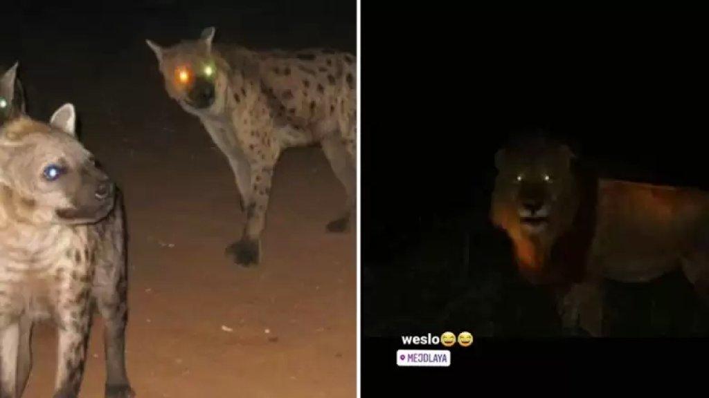 تسجيلات صوتية ومنشورات تتحدث عن هروب 7 ضباع وأسد من صاحب حديقة حيوانات في مجدليا...تبين أنها كاذبة والصور قديمة!