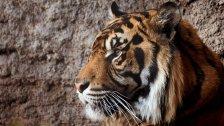 في سابقة هي الأولى عالميا .. إصابة نمر و3 أسود بفيروس كورونا في حديقة حيوان بنيويورك بعد نقل العدوى من أحد الموظفين