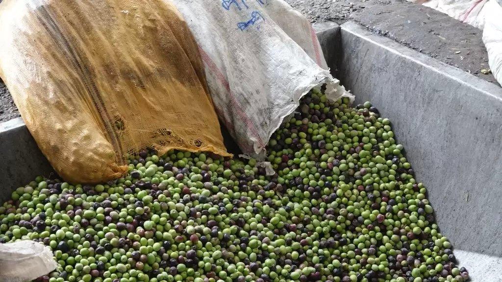 سعر صفيحة الزيت بلغ 600 ألف ليرة....إنطلاق موسم قطاف الزيتون في محافظة النبطية والإنتاج متوسط