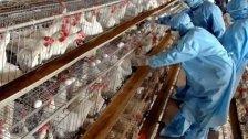 هولندا تعدم 190 ألف دجاجة.. بسبب انفلونزا الطيور!