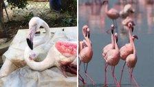 الفلامينغو الوردية المهاجرة وقعت ضحية الصيد الجائر خلال مرورها في سماء لبنان!
