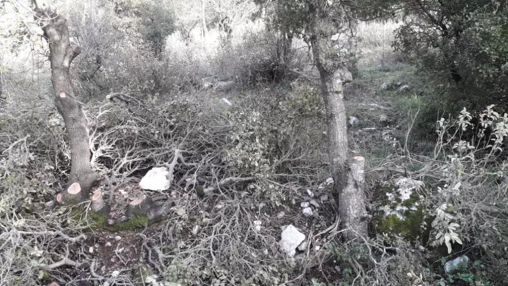 قطع أشجار سنديان معمرة في مشمش جبيل