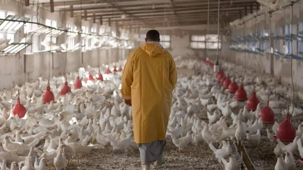 سرقة مزرعة دجاج في بينو - عكار بكلفة 5000 دولار