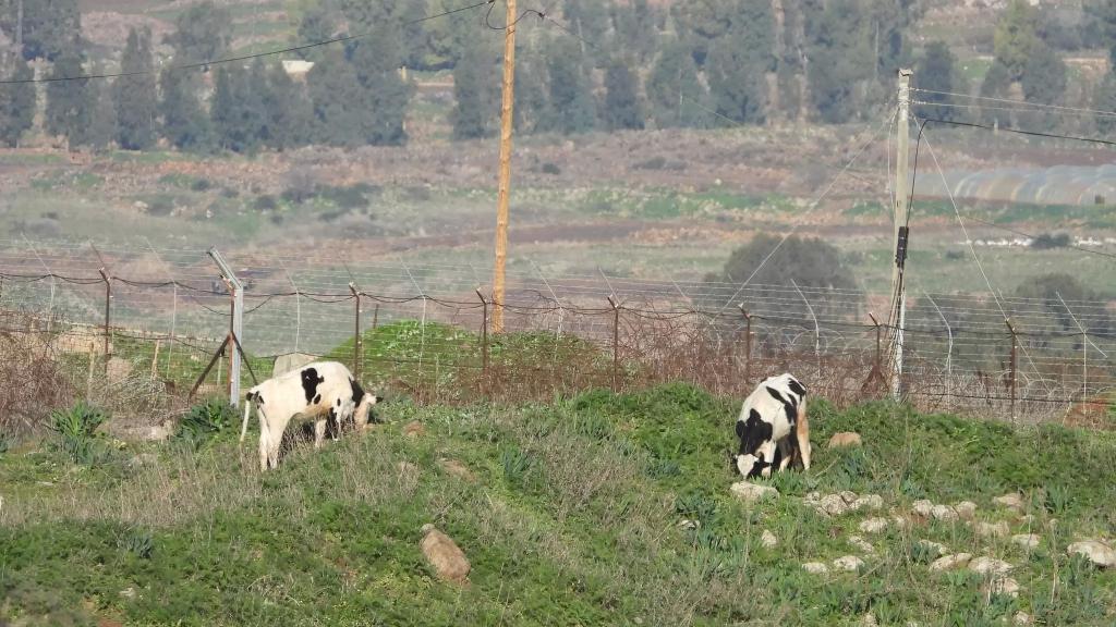 """اليونيفيل: نحقق بحادث احتجاز الجيش """"الإسرائيلي"""" سبع بقرات في محيط عرب الوزاني"""