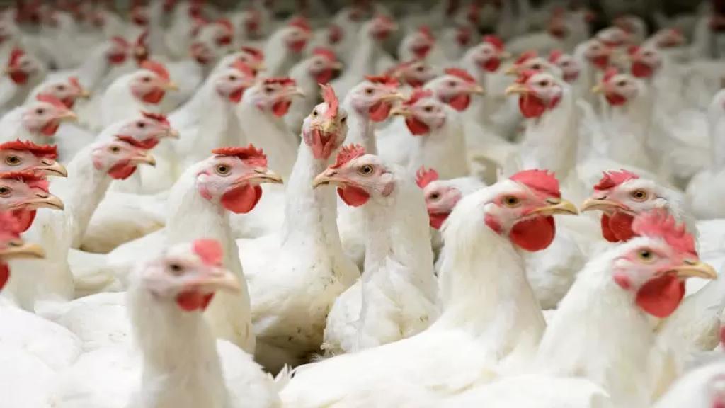 """نقابة منتجي الدواجن توضح: لا أثر للـ """"كوليستين"""" في الدجاج اللبناني"""
