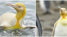 لأول مرة على الإطلاق! مصور للحياة البرية يكتشف طائر بطريق أصفر اللون جنوب المحيط الأطلسي