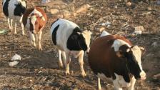 الأخبار: تجّار اللحوم: احتكار بمباركة «رسمية»!