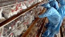 بعد رصد إصابات بإنفلونزا (H5N8) انتقل فيها الفيروس من الطيور إلى البشر.. الصحة العالمية: خطر الإنتشار يبدو منخفضاً