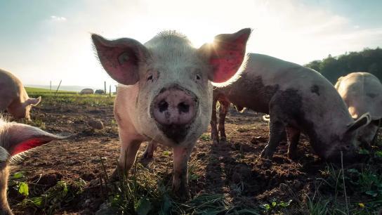 الصين تؤكد تفشي «حمى الخنازير الافريقية» في إقليمين رئيسيين.. تسبب بنفوق 38 خنزيراً في مزرعة!