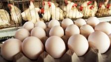 رئيس نقابة الدواجن: ارتفاع سعر البيض سببه جشع التجار الذين يضعون هوامش ربح خيالية تصل إلى 40 % وسعر الدجاج لا يزال مقبولا