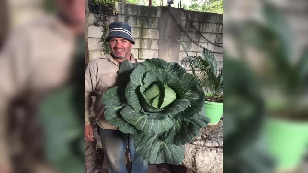 أكثر من 14 كيلوغرام.. مزارع عكّاري يحصد ملفوفة عملاقة!