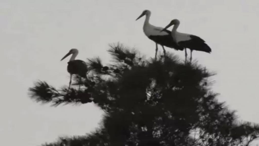 أسراب طيور اللقلاق تعبر فوق المناطق الجبلية من محافظة عكار