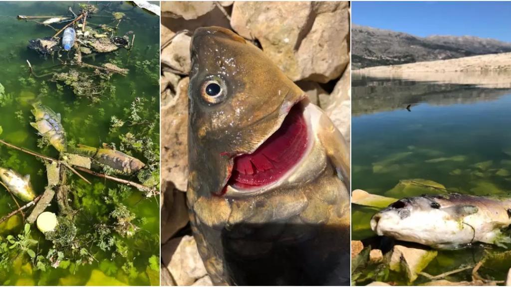 """بالصور/ في بحيرة القرعون... مرض وبائي خطير يصيب اسماك""""الكارب"""" ونفوق الآلاف منها بأقل من أسبوع وتحذير من تناولها!"""