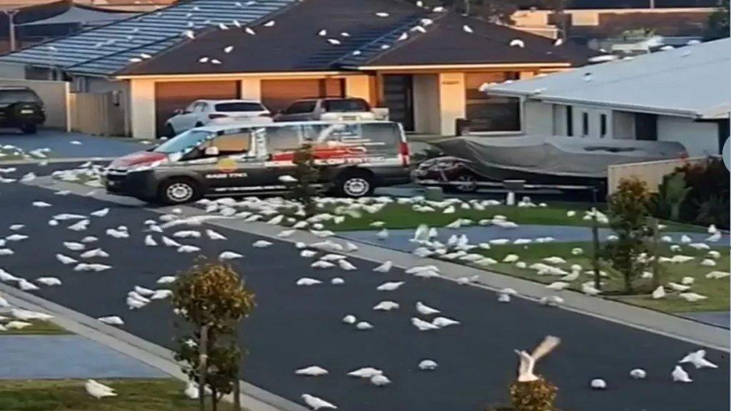 بالفيديو/ في مشهد هوليوودي.. الآلاف من طيور الكوكاتو تغزو مدينة ناورا الأسترالية