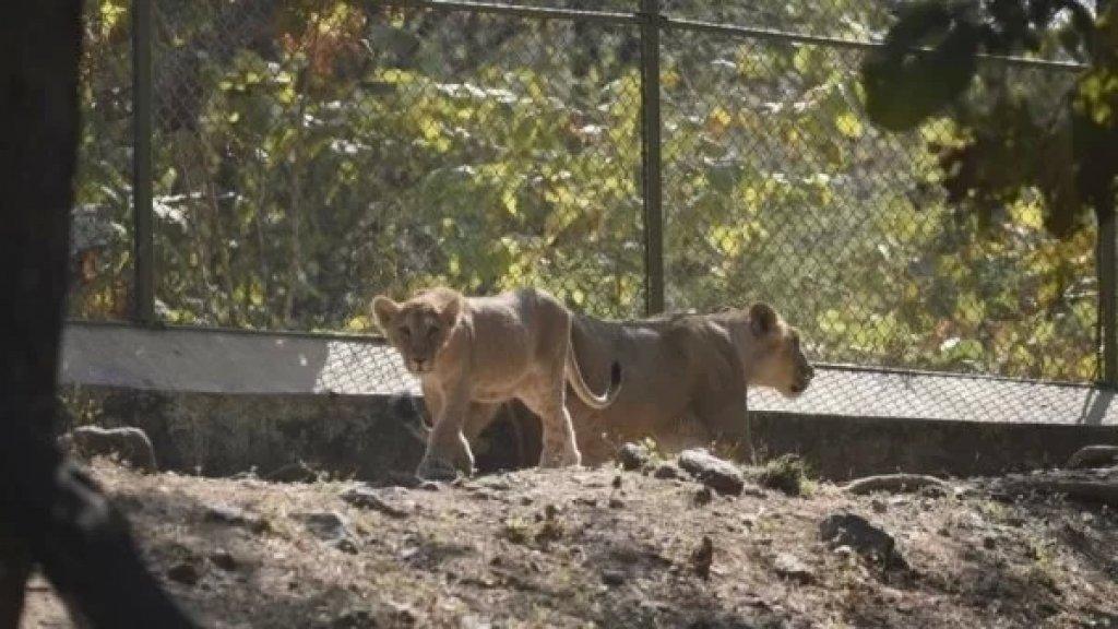إصابة ثمانية أسود في حديقة حيوان هندية بفيروس كورونا