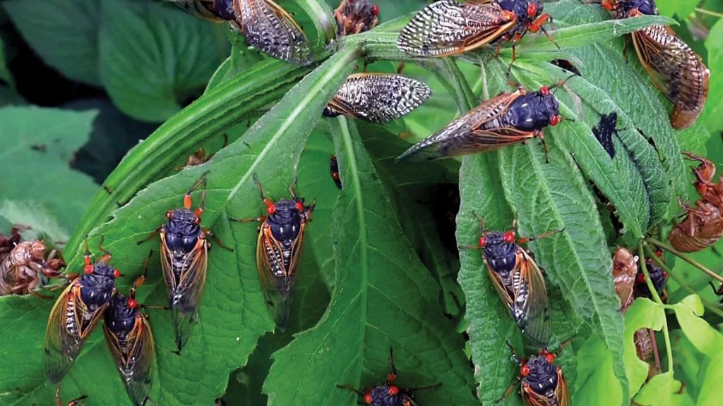 ترقبٌ في أميركا لغزو مليارات حشرات الزيز بعد اختبائها 17 عاماً في باطن الأرض
