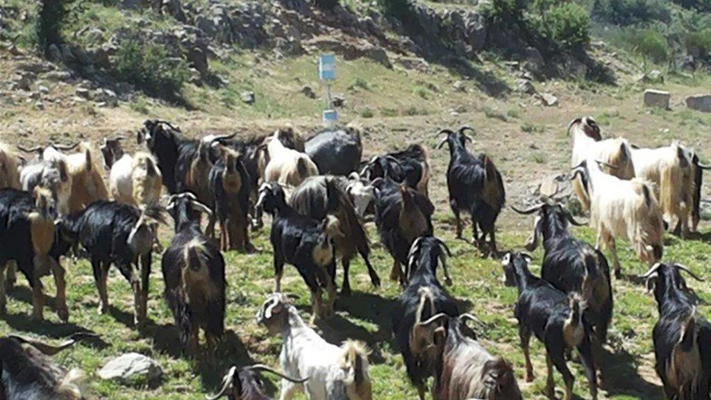 جيش الإحتلال الإسرائيلي يسرق قطيعًا من الماعز بعد فرار الراعي في مرتفعات كفرشوبا