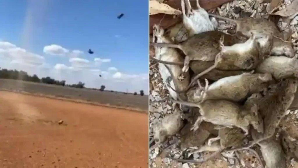 ملايين الفئران تجتاح المدن الأسترالية ومخاوف من أن يلوث السم المحاصيل الغذائية!
