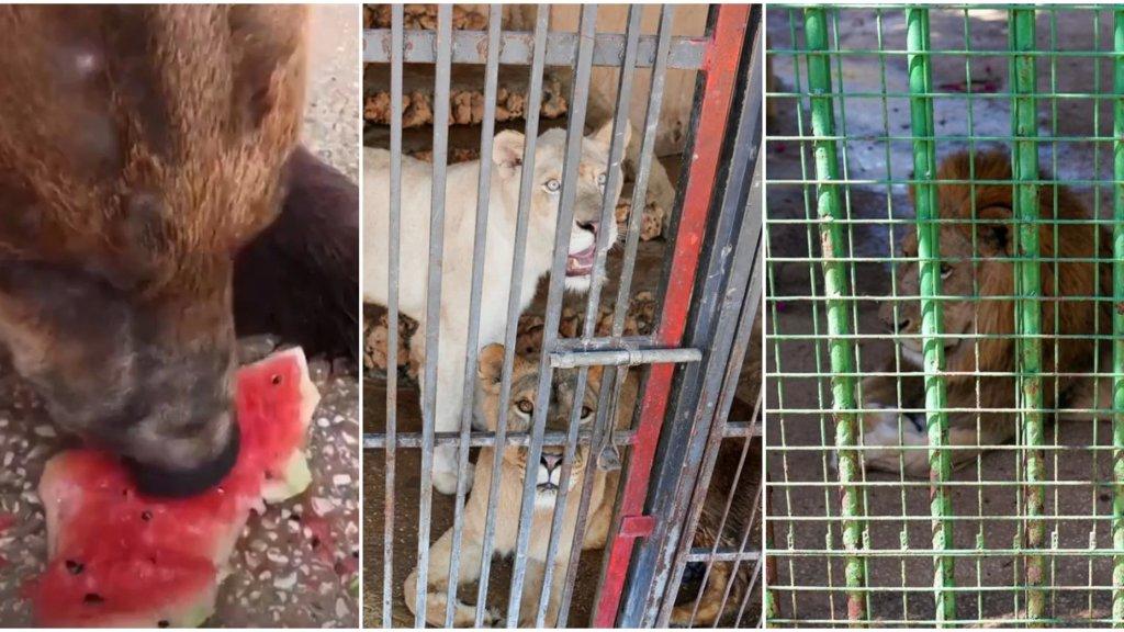 """بالفيديو/ """"في هذه المرحلة، ليسوا أسوداً حقاً""""... حتى الحيوانات في لبنان تتضور جوعاً في حدائق الحيوان ومنظمة تعمل على إرسالهم الى الخارج!"""