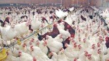 نقابة الدواجن تحذر من نفوق ملايين الطيور نتيجة الحرّ الشديد خلال هذه الفترة بسبب عدم توفر المازوت وتوقف مولّدات الكهرباء!