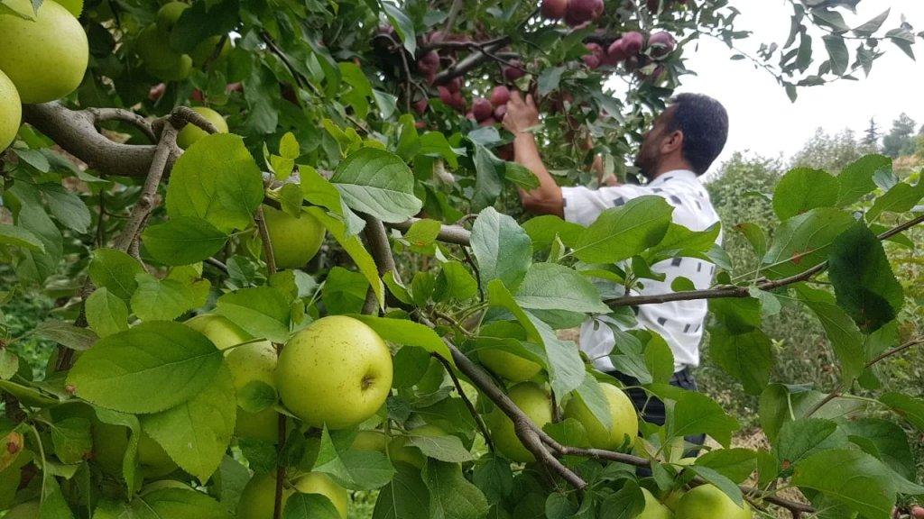 التفاح في عكار: إنتاج وفير وتصريف خفيف وتخوف من كساد المواسم!