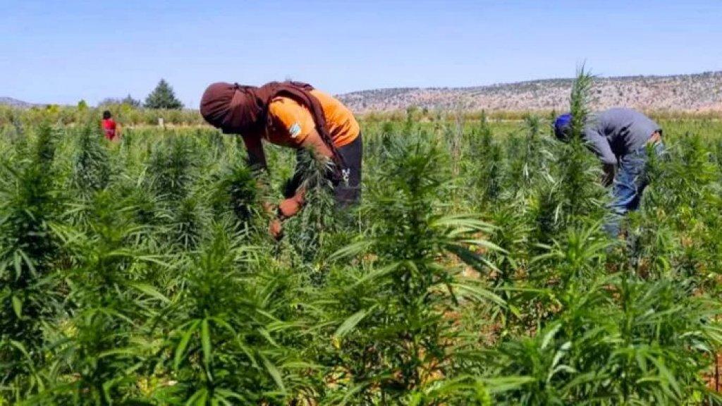 محافظ بعلبك الهرمل: نتمنى الإسراع بإصدار مرسوم تشريع زراعة القنب الهندي