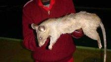 إلى جانب أزمة الوقود.. فئران عملاقة بحجم القطط تغزو المنازل البريطانية!