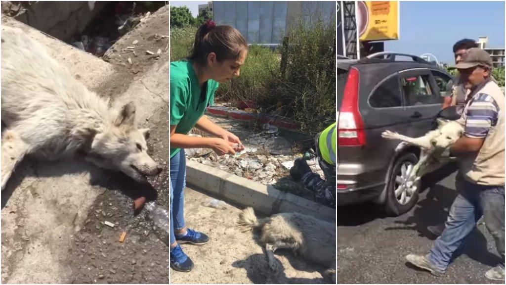 بالصور والفيديو/ عمّال بلدية العباسية وطبيبة بيطرية ينقذون كلبًا تعرّض لحادث صدم على مفرق العباسية