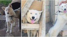 بالصور/ كلبة من نوع الهاسكي تُسمى LILI فُقدت من بنت جبيل